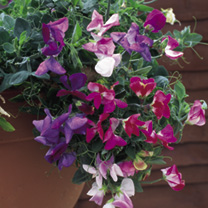 Sweet Pea Plants - Sweetie Mix