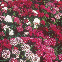 Sweet William Seeds - Special Mixed