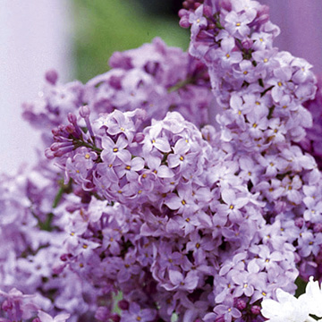 Lilac Katherine Havemeyer Plant