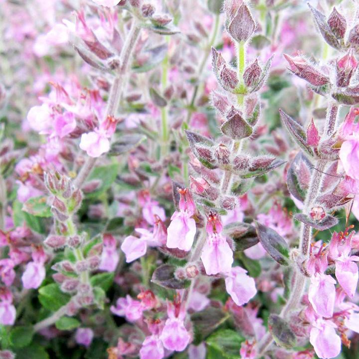 Teucrium x lucidrys Plant