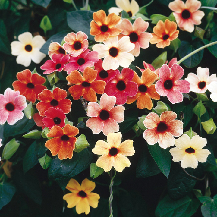 thunbergia african sunset seed