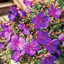 Tibouchina Plants - Baby