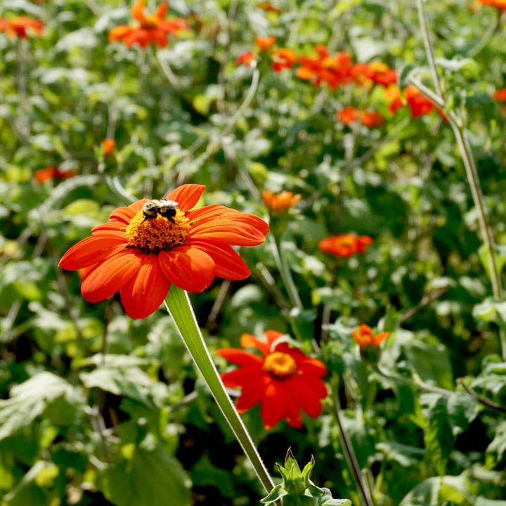 Mexican Sunflower Seeds - Tithonia Goldfinger