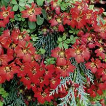 Tropaeolum Seeds - Aloha