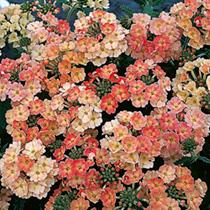 Verbena Seeds - Peaches and Cream