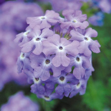 Verbena Trailing Plant - Tapien Sky Blue