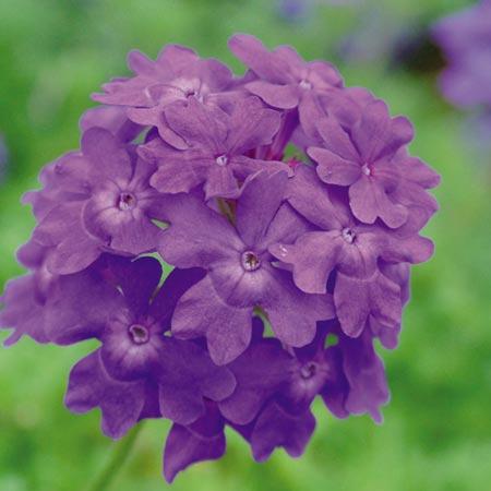 Verbena Trailing Plants - Tapien Violet