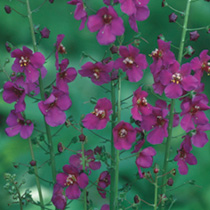 Verbascum Violetta Seeds