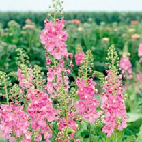 Verbascum Seeds - Antique Rose