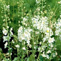Verbascum Seeds - White Bride