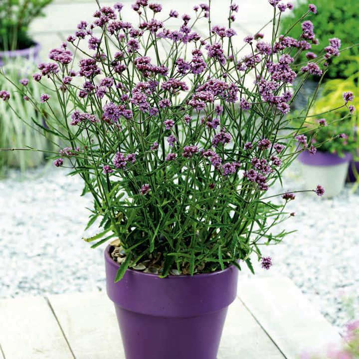 Verbena Plant - Lollipop