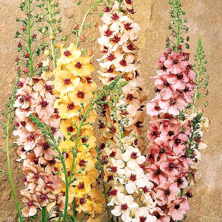 Verbascum Plants - Southern Charm