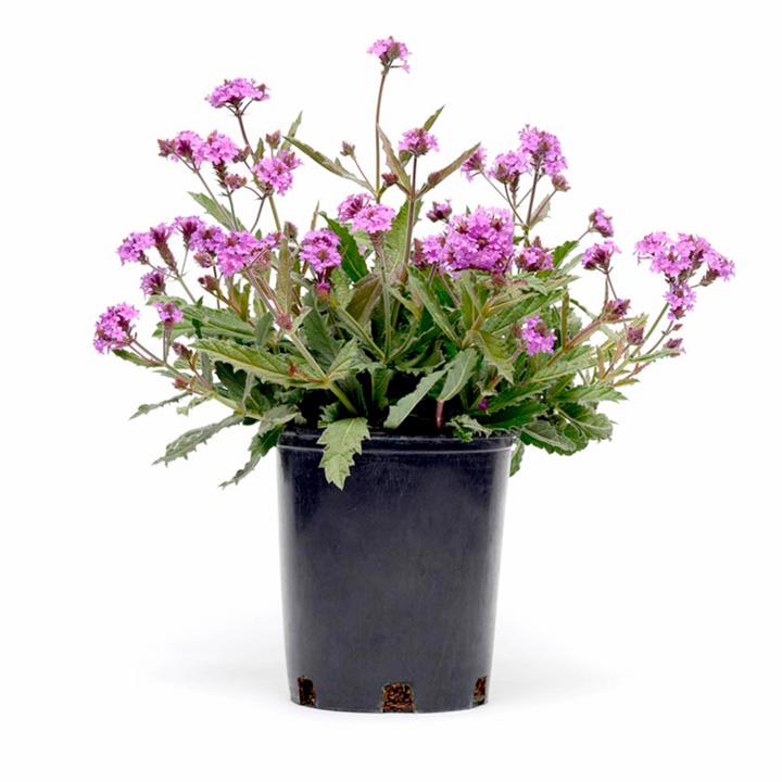 Verbena Plants - Santos Purple