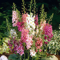 Verbascum Seeds - Velvet Mixed