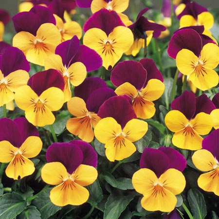 Viola Plants - F1 Admire Orange Purple Wing