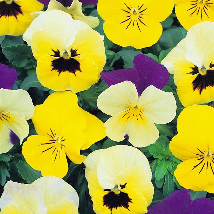 Viola Seeds - Perfumed Pastels