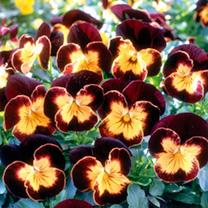 Viola Seeds - Maharaja F1