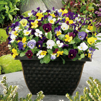 Viola Plants - LUCKY DIP