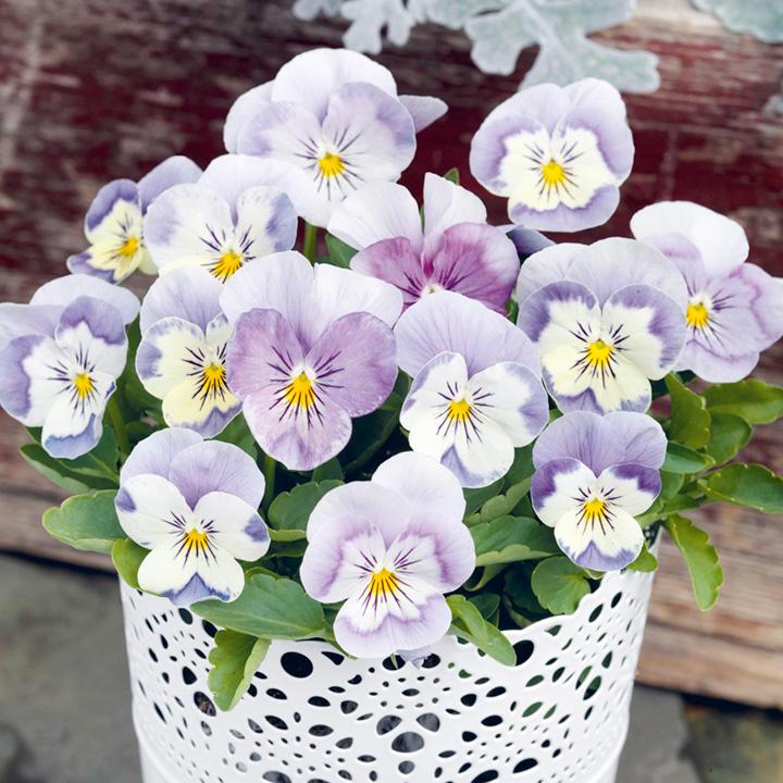Viola Plants - F1 Admire Pink Surprise