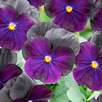 Viola Plants - F1 Sorbet Blackberry
