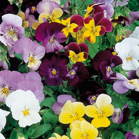 Viola Plants - F1 Sorbet Select Mix