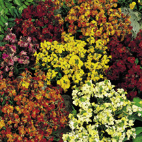 Wallflower Plants - Fair Lady Mix