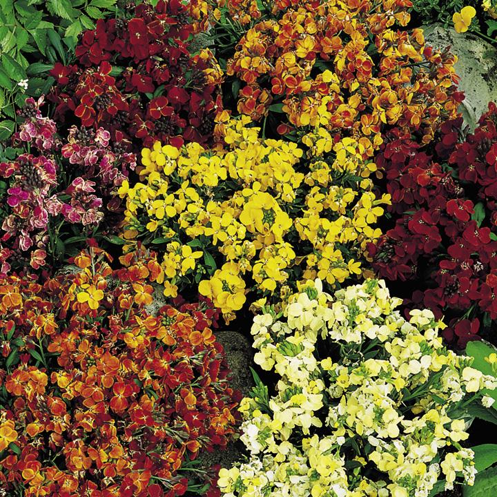 Wallflower Plants - Fair Lady Mix
