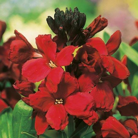 Wallflower Plant - Blood Red