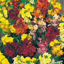 Wallflower Seeds - Mixed (Twin Pack)