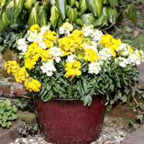 Wallflower Plants - Bounty Mix
