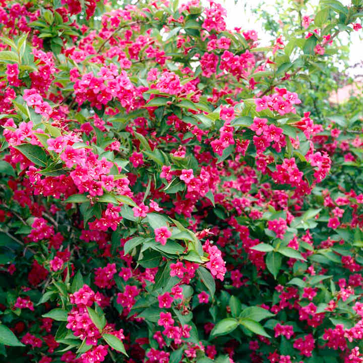 Weigela Plants - Bristol Ruby