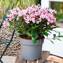 Weigela Plant - Pink Poppet