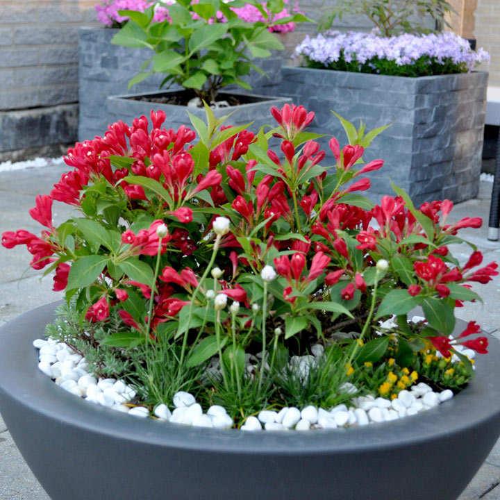 Weigela Plant - All Summer Red