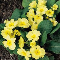 Primrose Seeds - Wild Primrose
