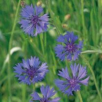 Cornflower Wild Seeds