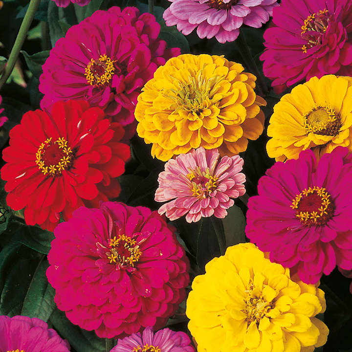 Zinnia Seeds - Dobies Dahlia-Flowered Mixed
