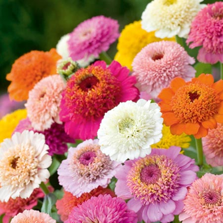 Zinnia Seeds - Faberge Mixed