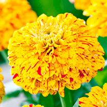 Zinnia Seeds - Pop Art Gold and Red