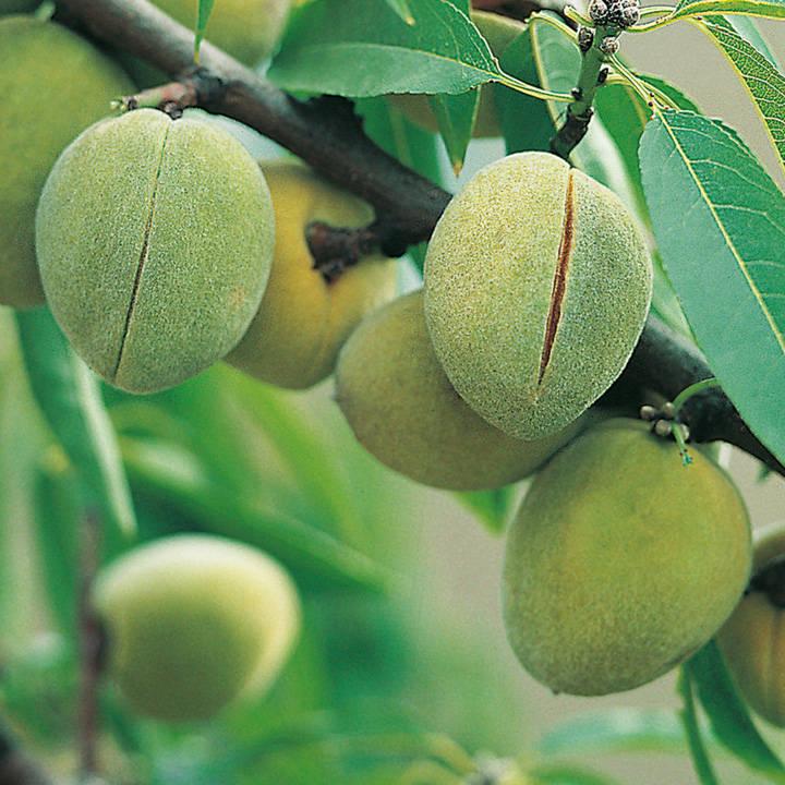Nut Tree - Sweet Almond Sultane