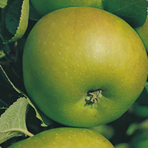 Apple Tree Bramley Clone 20