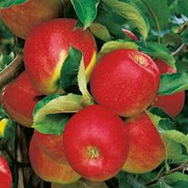 Apple Tree - Jonagold