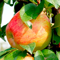 Apple (Cooking) Tree - Sir Isaac Newton