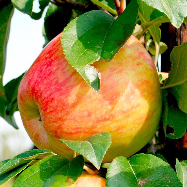 Apple (Cooking) Tree - Sir Isaac Newton