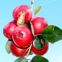 Apple Tree - Redlove