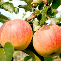 Apple Paradis