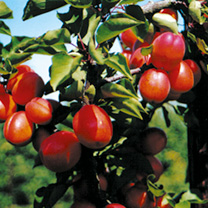 Apricot Coll TomcotBergecotJennycot (3)
