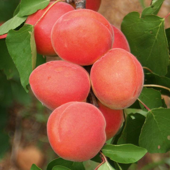 Apricot Collection Pack of 3 Trees (1 of each variety) - SAVE £15.00!