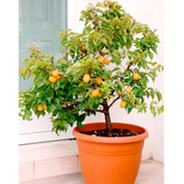 Sibleys Apricot Dwarf Fruit Tree