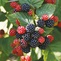 Blackberry Plant Chester