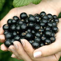 Blackcurrant Plants - Ebony